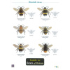 Field Guide to the Bees of Britain